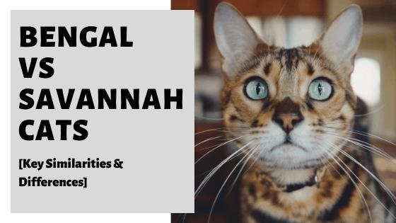 Bengal vs Savannah Cats [Key Similarities & Differences]
