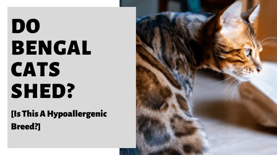 Do Bengal Cats Shed? [Is This A Hypoallergenic Breed?]