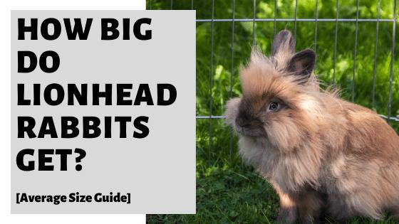 How Big Do Lionhead Rabbits Get? [Average Size Guide]