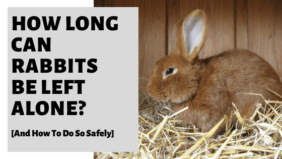 How Long Can Rabbits Be Left Alone? [And How To Do So Safely]