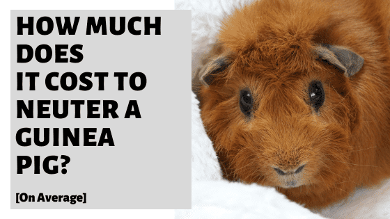 How Much Does It Cost to Neuter A Guinea Pig? [On Average]