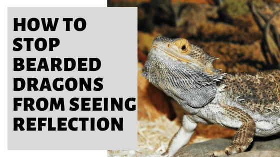 How To Stop Bearded Dragons From Seeing Reflection?