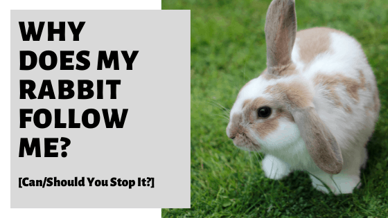 Why Does My Rabbit Follow Me? [Can/Should You Stop It?]