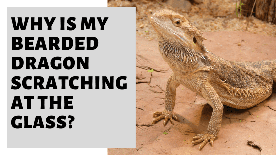 Why Is My Bearded Dragon Scratching At The Glass?